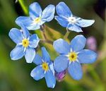 180px-2008-05-04_at_18-26-44-Forgetmenot-Flower