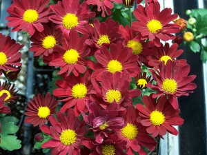 red daisy mum