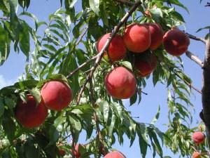 peach%20on%20tree